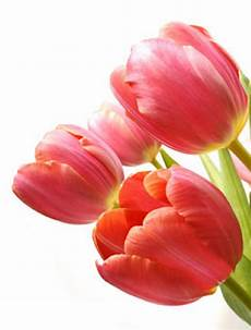 Tulip Delivery Melbourne