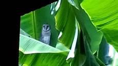 Gambar Kamuflase Luar Biasa Burung Hantu Menyatu Batang