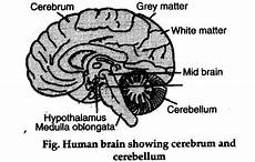 explain the structure of brain with the help of diagram cbse class 11 biology learn cbse