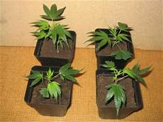 terre pour faire pousser cannabis comment bien reussir une bouture de cannabis zoltans11