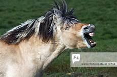ausmalbilder pferde norweger pferd der pferderasse norwegisches fjordpferd hengst