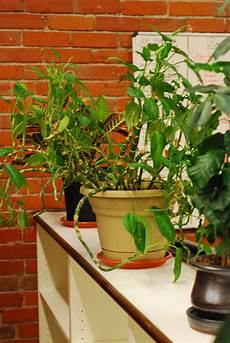best office plants good plants for the office environment gardening know how