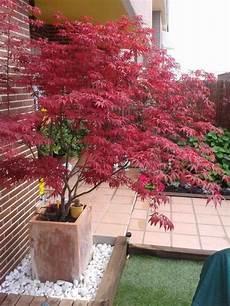 Japanischer Ahorn Herbst Strahlend Rote Blaetter