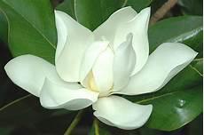 magnolia fiore magnolia acrostico lanostracommedia