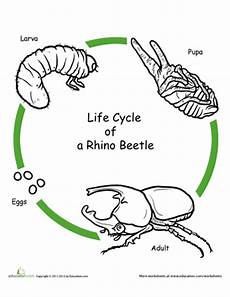 animal cycle worksheets 13938 color the cycle rhino beetle cycles rhino beetle cycle for