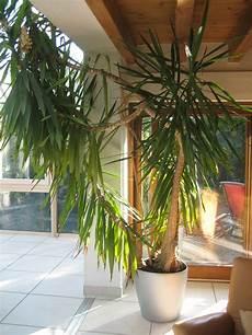 Yukka Palme Umtopfen Haus Garten Forum Chefkoch De