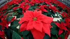 weihnachtsstern pflanze pflege pflege tipps f 252 r weihnachtssterne so halten die pflanzen