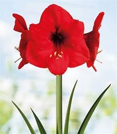 amaryllis im topf amaryllis im topf bl 252 hende zimmerpflanzen bei baldur garten