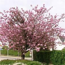 Cerisier Du Japon Kanzan Plantes Et Jardins