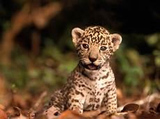Nacen Dos Cr 237 As De Jaguar En Benidorm National