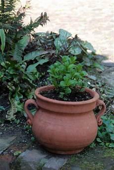 menta in vaso un anno al giardino medievale di torino 3 parte il