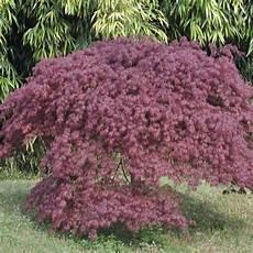 erable du japon dissectum inaba shidare plantes et jardins