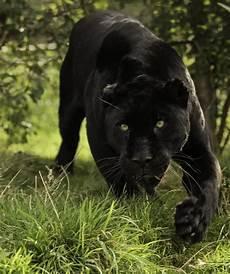 Wildlife Animals Nature Black Jaguar Series