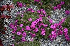 piante fiorite perenni perenni vivai rulli garden marsciano