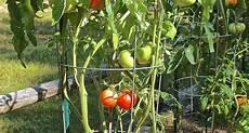 come seminare i pomodori in vaso pomodori sul balcone orto in terrazzo coltivare i