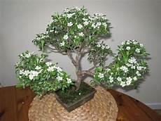 piante di fiori bonsai serissa foetida variegata