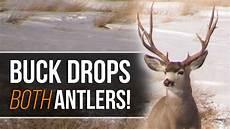 buck drops both antlers at once mule deer shed hunting