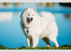 Meet the Beautiful Samoyed?From Reindeer Herder to Family