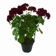 edera in vaso geraneo edera vaso 14 floricoltura magnani di magnani