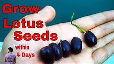 how to grow lotus from seed day ब ज स कमल उग य म त र 4 द न म how to grow lotus from