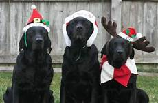 christmas labs all i want for christmas are my 3 black labs dogs make me happy labrador