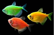 17 best images about glofish pinterest glow live fish and shops