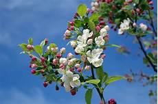 apple blossom tree branch 183 free photo on pixabay