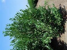 laurier haie pas cher laurier 125 150 cm prunus caucasica arbustes pour