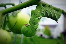 tomato hornworms how to get rid of tomato caterpillars