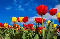 tulpen pflege nach der blüte pflegetipps f 252 r tulpen auf dr garten de
