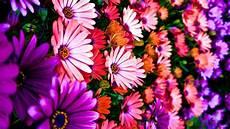 black garden 4k wallpaper daisies flowers colorful pretty garden plenty hdr