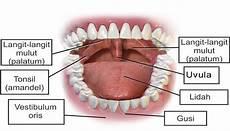 Mulut Pengertian Struktur Bagian Dan Fungsi Mulut Dalam