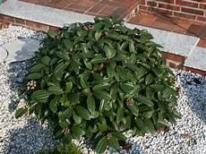 immer grüner strauch immergr 252 ner kissen schneeball viburnum davidii