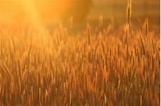 küchenbilder auf leinwand goldene aehren abendsonne wandbild auf leinwand