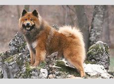 Eurasier   Alles was Sie über diese Hunderasse wissen müssen!