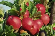 wann sind äpfel reif wann sind apfel reif apfelreif with wann sind apfel reif