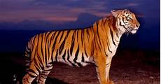 Wallpaper Gambar Harimau 3d Kung Hewan Beli Murah
