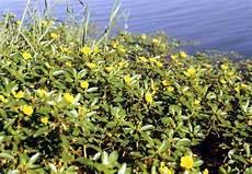 plante d eau plantes invasives au bord des cours d eau