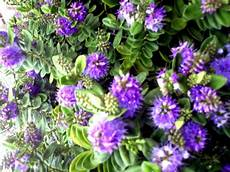 piante di fiori fiori piante e giardini mondo piante perenni