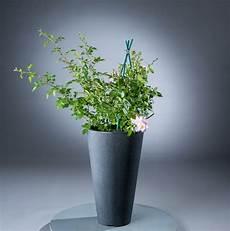 pflanzen günstig kletterrose perennial blush 194 174 rosa perennial blush 194