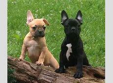 Französische Bulldogge hund in Schweiz, Französische