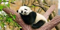 Gambar Panda Lucu Serta Asal Usul Panda Ayeey
