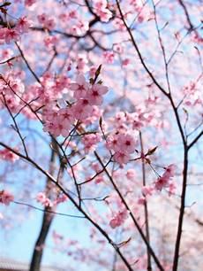 fior di ciliegio colorgriffe fiori di ciliegio