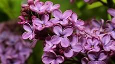Flieder Pflegen Richtig Pflanzen Schneiden Und Vermehren