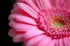 significato dei fiori gerbera significato fiori rosa linguaggio dei fiori
