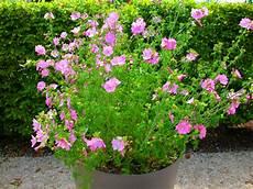 piante fiorite perenni 15 erbacee perenni a crescita lo mimma pallavicini s