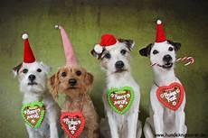 hund mit mütze fr 214 hliche weihnachten hunde fotografie