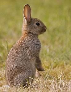 kaninchen wildkaninchen kaninchen und hase kaninchen