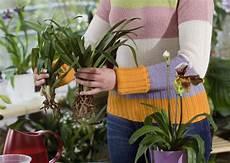 orchideen durch ableger vermehren orchideen orchideen