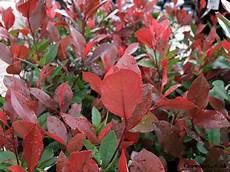 Photinia Fraseri Robin - photinia x fraseri robin shrub image 1 new